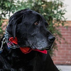 Labrador Retriever Rescue Of Fresno In Clovis California