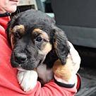 Adopt A Pet :: English Bernard