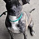 Adopt A Pet :: Chrissie