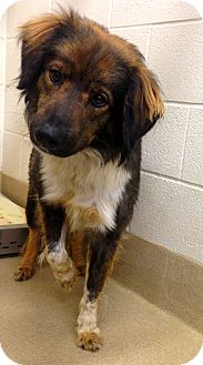 Border Collie/Cattle Dog Mix Dog for adoption in Lake Worth, Texas - Wiley
