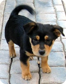 Oakley CA Rottweiler Meet Baby Barley A Dog For Adoption - Terrier and rottweiler