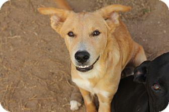 Australian Shepherd/Labrador Retriever Mix Puppy for adoption in Augusta, Maine - A - RANGER