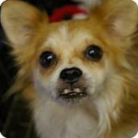 Adopt A Pet :: Fluffy Muffin - Brooksville, FL