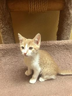 Domestic Shorthair Kitten for adoption in Chino Hills, California - Timmy