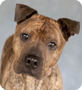 Chicago Il Shar Pei Meet Mike A Pet For Adoption