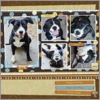 American Staffordshire Terrier/Labrador Retriever Mix Dog for adoption in Loma Linda, California - Sasha