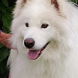 Adopted pets at Denver Samoyed Rescue in Arvada, Colorado