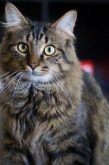 Adopt A Pet :: Oliver  - Troy, MI
