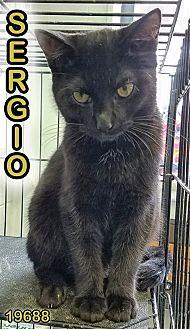 Domestic Shorthair Kitten for adoption in Oak Ridge, Tennessee - Sergio