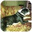 Photo 2 - Boston Terrier Dog for adoption in Traskwood, Arkansas - Macey