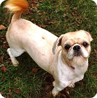 Fairfax Va Shih Tzu Meet Sammy A Pet For Adoption