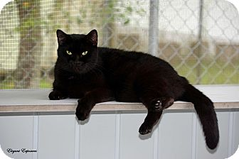 Domestic Shorthair Cat for adoption in Brooksville, Florida - Inky
