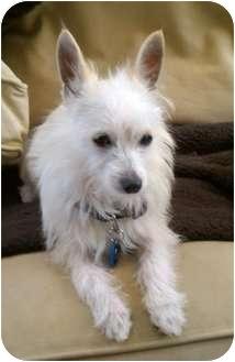 San Marcos Ca Westie West Highland White Terrier Meet Snowey A