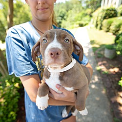Acworth Ga American Bulldog Meet Harrison Beatles Litter A Pet