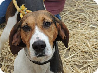 Treeing Walker Coonhound Dog for adoption in Allentown, Pennsylvania - Lucy Lou