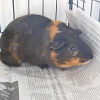 Guinea Pig for adoption in Olivet, Michigan - Mocha