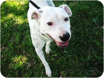meridian ms pit bull terrier meet pinky a pet for adoption