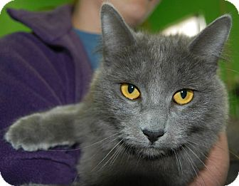 Chartreux Cat for adoption in Edwards AFB, California - Leila