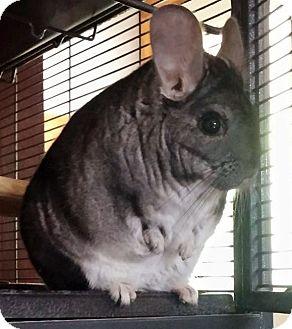 Chinchilla For Sale >> St Paul Mn Chinchilla Meet Lil Yoda A Pet For Adoption