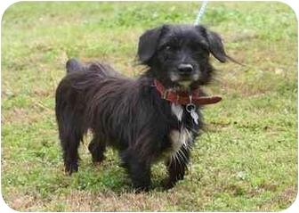 Houston Tx Dachshund Meet Duncan A Pet For Adoption