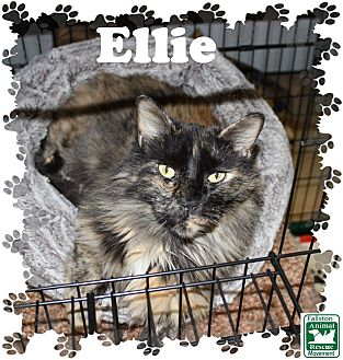 Domestic Longhair Cat for adoption in Fallston, Maryland - Ellie