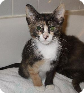 Calico Kitten for adoption in Lenexa, Kansas - Bubblegum