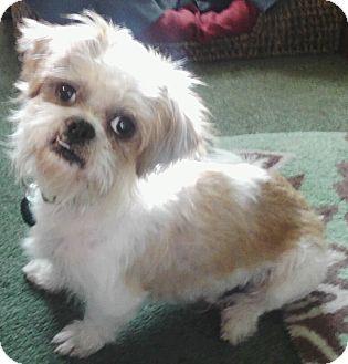 Urbana Oh Shih Tzu Meet Khaki A Pet For Adoption