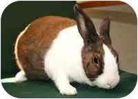 Dutch Mix for adoption in Walker, Michigan - Rabbit