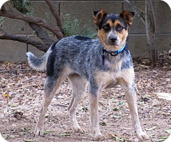australian cattle dog rescue az