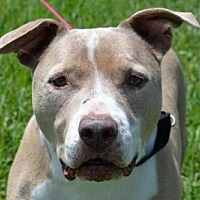 American Pit Bull Terrier Mix Dog for adoption in West Palm Beach, Florida - CLOONEY