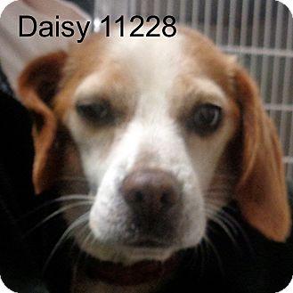 Beagle Dog for adoption in Greencastle, North Carolina - Daisy