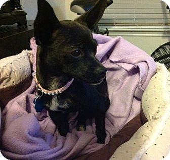 Chihuahua Mix Dog for adoption in Dallas, Texas - Tcee