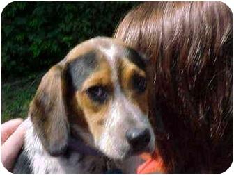 Blue Tick Beagle A Pet For