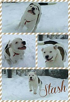 American Pit Bull Terrier Mix Dog for adoption in Idaho Falls, Idaho - Stash