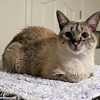 Siamese Cat for adoption in Parlier, California - Chad