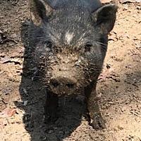 Adopt A Pet :: Catnip - Asheville, NC