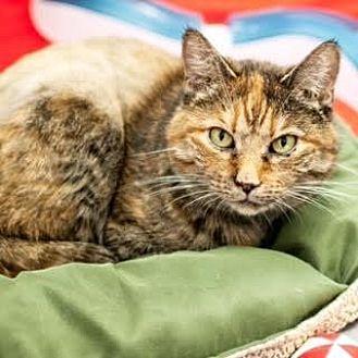 Domestic Shorthair Cat for adoption in Denver, Colorado - Paris