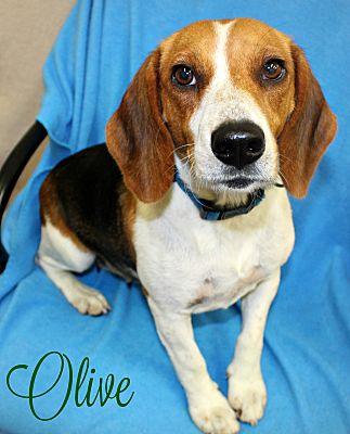 Melbourne Ky Beagle Meet Olive A Pet For Adoption