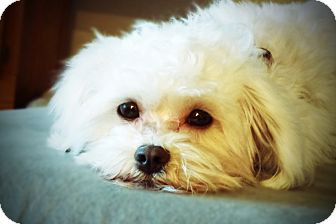 Fort Worth, TX - Maltese  Meet TY a Pet for Adoption