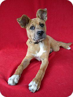 Shepherd (Unknown Type)/Australian Shepherd Mix Puppy for adoption in Monteregie, Quebec - Tilly