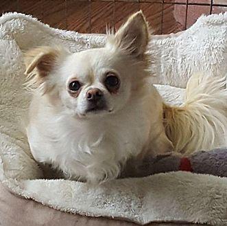 Adopt Chihuahua Kansas City