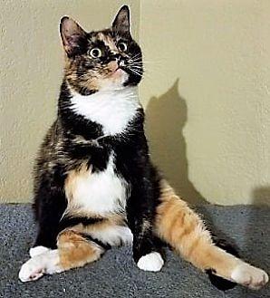 Adopt A Pet :: Cameo  - Edmond, OK