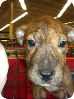 Shar Pei/Terrier (Unknown Type, Medium) Mix Puppy for adoption in Detroit, Michigan - Loulay-Adopted