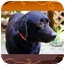 Photo 2 - Labrador Retriever Dog for adoption in Spring Valley, New York - Bear