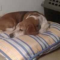 Adopt A Pet :: Bruno - Albuquerque, NM