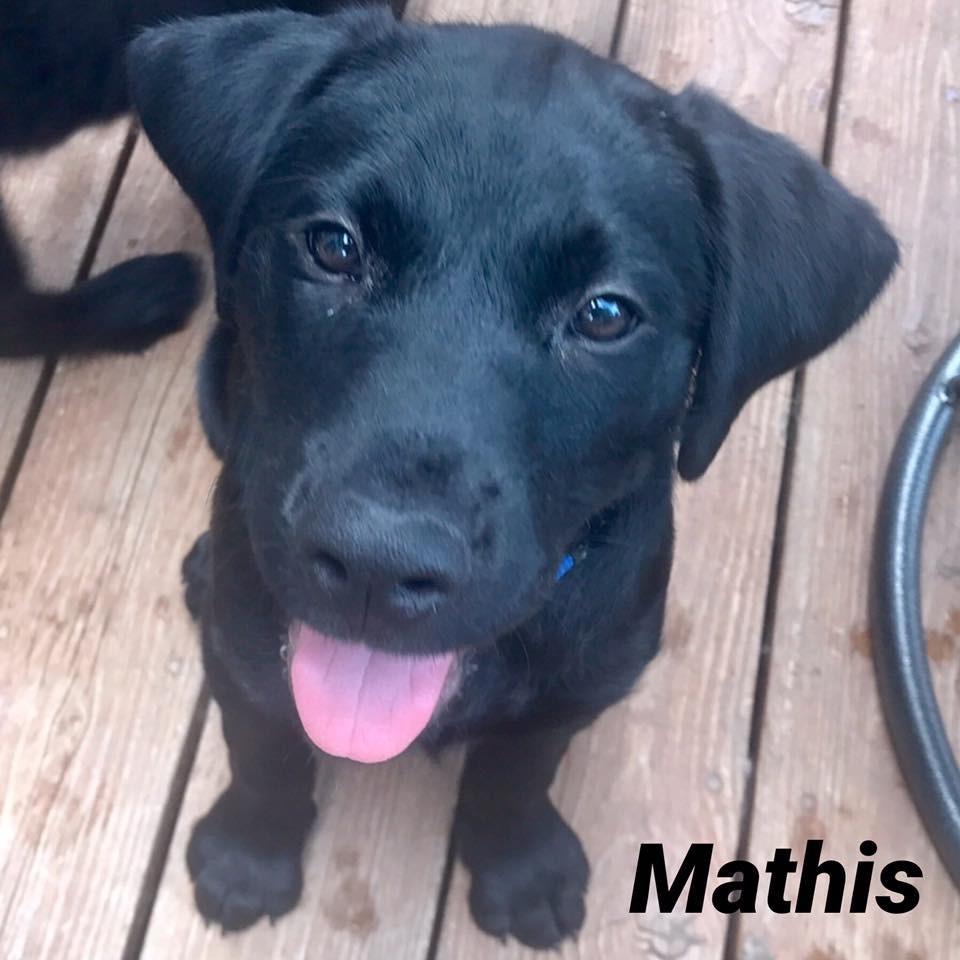South Elgin, IL - Labrador Retriever. Meet Mathis a Dog for Adoption.