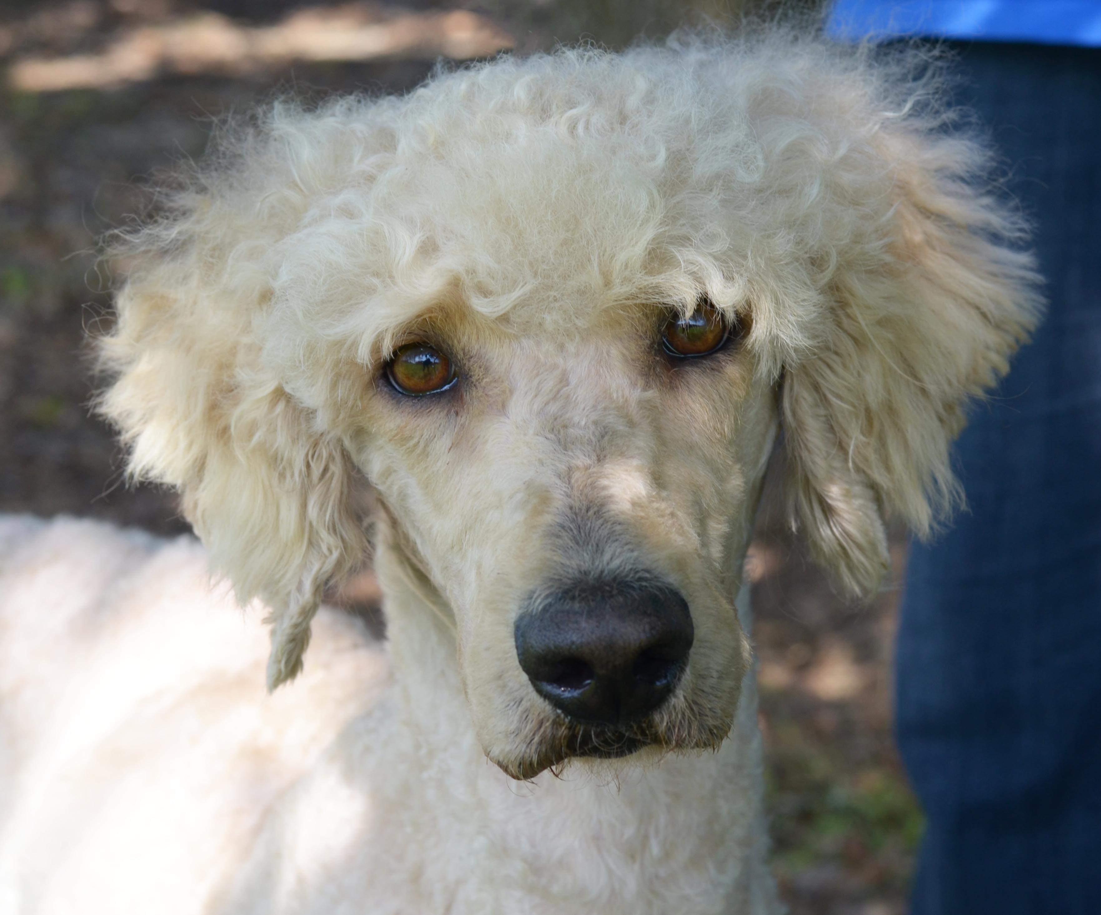 LAFAYETTE, LA - Labradoodle. Meet GOLDIE a Dog for Adoption.