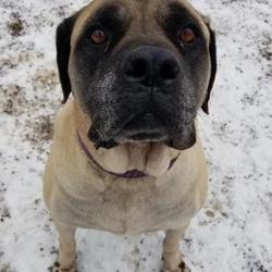Mastiff Puppies for Sale in Milwaukee Wisconsin - Adoptapet com