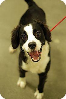 Spaniel (Unknown Type) Mix Dog for adoption in San Pedro, California - DANIEL THE SPANIEL