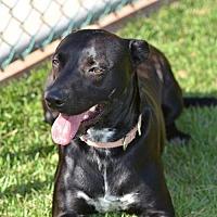 Adopt A Pet :: Amore - Vancouver, WA